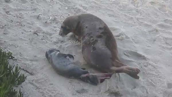 seal birth - Scenic Cycle Tours - San Diego Bike Tours